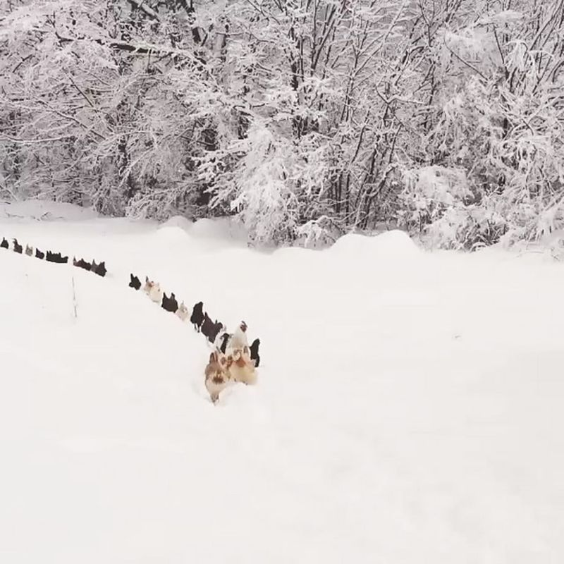 1421949041_chickens-marching-zoom